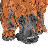 Vector close-up sketch domestic dog Great Dane bre Stock Images
