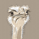 Vector closeup portrait of funny Ostrich Bird Stock Photos