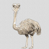 Vector closeup portrait of funny Ostrich Bird Royalty Free Stock Image