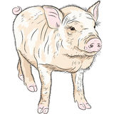 Vector closeup portrait of funny piggy Stock Image