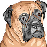 vector Closeup serious bullmastiff portrait Stock Photo