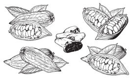 Vector  cocoa beans on white background Royalty Free Stock Photos