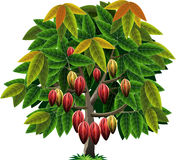 Vector cocoa tree. Vector graphic cacao tree as a basic ingredient of chocolate Stock Photo