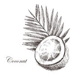 Vector coconut hand drawn sketch with palm leaf Royalty Free Stock Photos
