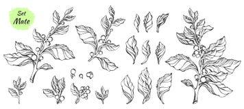 Vector a coleção da ilustração tirada mão da árvore do companheiro Fotografia de Stock
