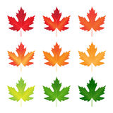 Vector collection of autumn colored maple leaves. Collection of autumn colored maple leaves royalty free illustration