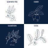 Set of four hand drawn eatable and medicinal plants. Vector collection of four hand drawn medicinal and eatable plants, slow match tree, cashew, calabar bean Stock Photography