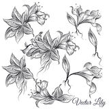 Vector collection of hand drawn lily flowers in engraved style Stock Photos