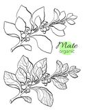 Vector collection of hand drawn mate branches. Vector illustration. Royalty Free Stock Photo