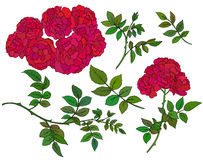 Vector collection of  hand drawn red bush roses. On white background Stock Photos