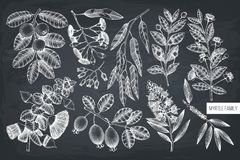 Vector collection of Myrtle family plants illustrations. Hand drawn myrtus, tea tree, guava fruit, eucalyptus, feijoa sketches. Es. Sential oils ingredients for vector illustration