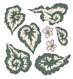 Vector collection set of exotic Rex Cultorum Begonia China Curl plant leaf and flower drawings vector illustration