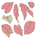 Vector collection set of Syngonium Podophyllum Pink Neon Robusta Plant leaf drawings stock illustration