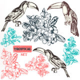 Vector collection of three toucan bird fully hand drawn  Stock Images
