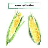 Vector collection of watercolor corns Stock Photos