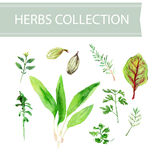 Vector collection of watercolor herbs Royalty Free Stock Photo