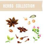Vector collection of watercolor herbs Stock Photos