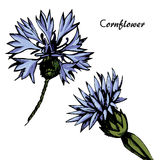 Vector  color Cornflower sketch Royalty Free Stock Photography