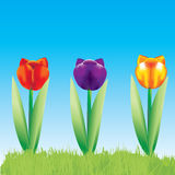 Vector Color Tulips. On blue background Royalty Free Stock Images