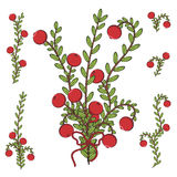 Vector colored illustration with branches of cranberries. Isolated objects on white Stock Photos