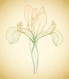 Vector colored iris. Stock Photo