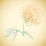 Vector colored peony. Royalty Free Stock Photo