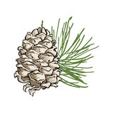 Vector composition with cedar cone and coniferous brunch. Hand drawn vector composition with cedar cone and coniferous brunch. Illustration in sketch style with Royalty Free Stock Image