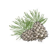 Vector composition with cedar cone and coniferous brunch. Hand drawn  composition with cedar cone and coniferous brunch. Illustration in sketch style with color Stock Photography