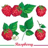Vector composition with outline Raspberry or Rubus  red berry and green leaves isolated on white background. Royalty Free Stock Image