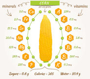 Vector corn infographics. Stock Images