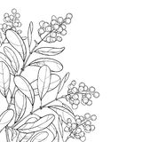 Vector corner branch with outline poisonous plant Privet or Ligustrum. Berry bunch and ornate leaf in black isolated on white. Vector Illustration