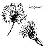 Vector Cornflower sketch Royalty Free Stock Image