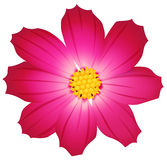 Vector cosmos flower isolated on white. Stock Image