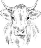 Cow portrait Stock Image