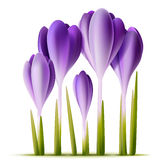 Vector crocuses Royalty Free Stock Photography