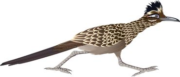 Free Vector Cuckoo Greater Roadrunner Geococcyx Californianus Royalty Free Stock Photography - 168062257