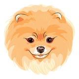 Vector cute dog Pomeranian Royalty Free Stock Photo
