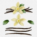Vector 3d Realistic Sweet Scented Fresh Vanilla Flower with Dried Seed Pods and Leaves Set Closeup Isolated on. Transparent Background. Distinctive Flavoring royalty free illustration