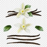 Vector 3d Realistic Sweet Scented Fresh Vanilla Flower with Dried Seed Pods and Leaves Set Closeup Isolated on. Transparent Background. Distinctive Flavoring vector illustration