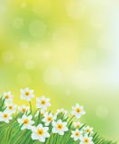 Vector daffodil flowers background. Royalty Free Stock Photos