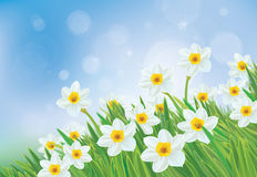 Vector daffodil flowers. Royalty Free Stock Photography
