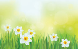 Vector daffodil flowers on sky background. Background is my creative handdrawing and you can use it for spring, Easter design and etc, made in vector, Adobe Royalty Free Stock Photo