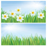 Vector daffodil flowers. Royalty Free Stock Image