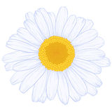 Vector daisy. Vector colored daisy in vintage engraving style Stock Photos