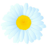 Vector daisy design. Vector daisy flower isolated on white background Royalty Free Stock Photo