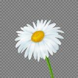 Vector daisy. Realistic beautiful daisy flower , vector illustration Stock Photography