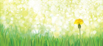 Vector   dandelion nature  background. Stock Photos