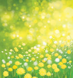 Vector  dandelions flowers field. Vector  nature  background,  dandelions flowers field Royalty Free Stock Images