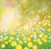 Vector   dandelions flowers field. Vector  nature  background,  dandelions flowers field Royalty Free Stock Photo