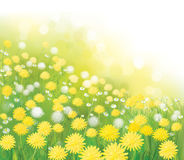 Vector  dandelions flowers field. Vector  nature  background,  dandelions flowers field Stock Photos